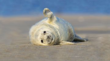 Grey seal on the beach in Helgoland