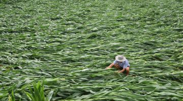 After the storm: A farmer in the Chinese province of Shandong