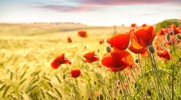 Beautiful borders: Poppies in a cornfield