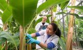 Research on banana plants in Hohenheim