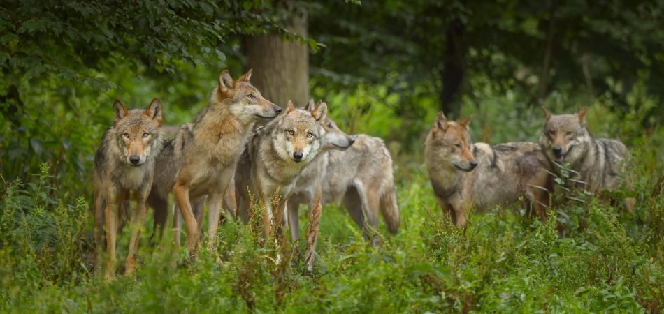 Wolves are again making themselves at home in Germany's forests.
