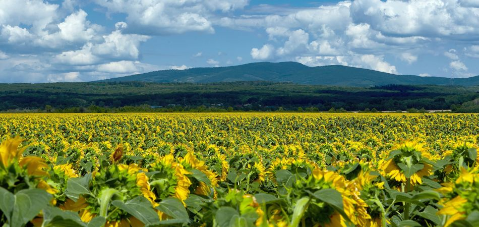 Sun flower field in Ukraine