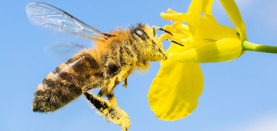 There are about 550 species of wild bees in Germany.