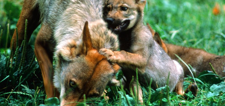 Wolf with pups in Bavaria