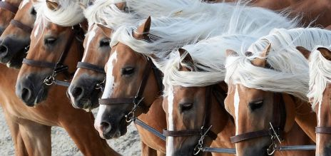 Stallions share common ancestor