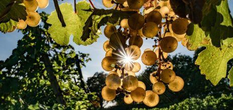 Record grape harvest