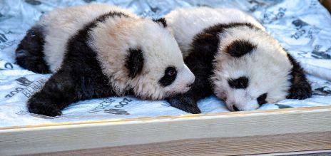 Panda-Babys zeigen sich