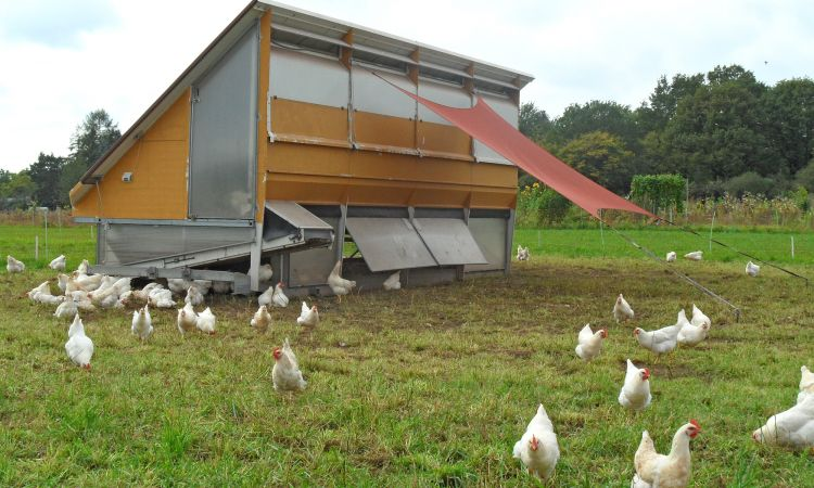There are mobile chicken coops in the fields.
