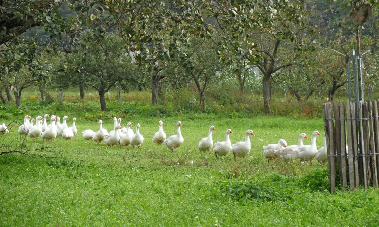 Geese and chickens have room for exercise in the open air.
