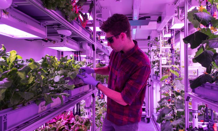 Eden-ISS: Using the aeroponics method, lettuce grows in an artificial environment.