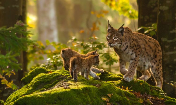 Lynxes roam in the Palatinate Forest.