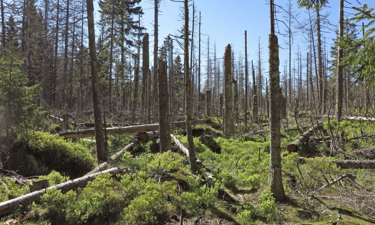 Damage to forests in the Harz region